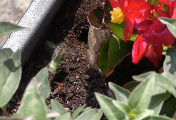 Leaf Cutter Bee Still