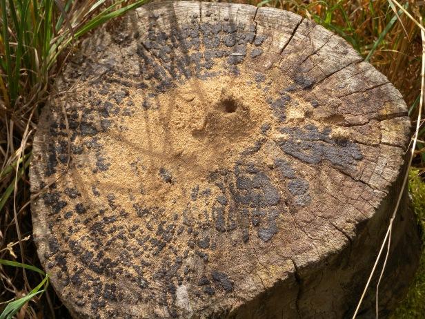 Wood Wasp hole